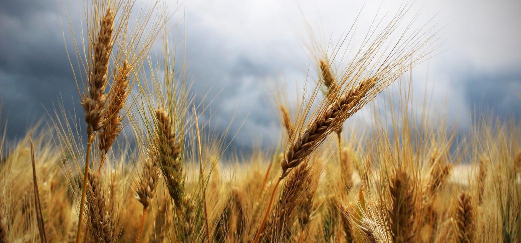 wheat-field-001