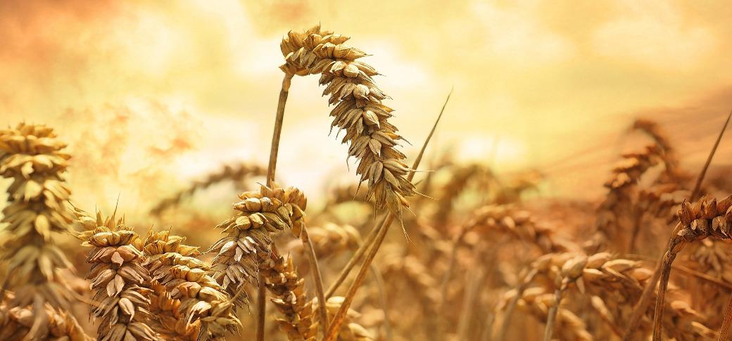 wheat-field-002