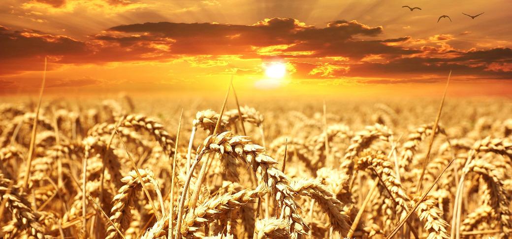 wheat-field-003